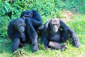 Ngamba Island Chimpanzees