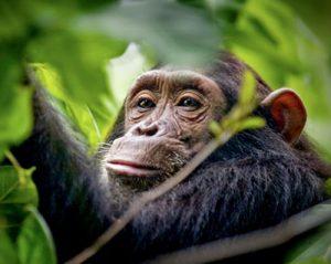 Chimps Uganda