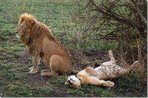 lions in uganda 4 Days Kidepo National Park Safari