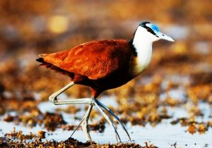 Adult African Jacana (Actophilornis africanus) walking on leaves