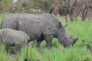 3 Days Rhino Tracking Safari and Murchison Falls