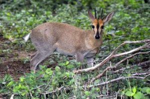 the duiker antelope uganda