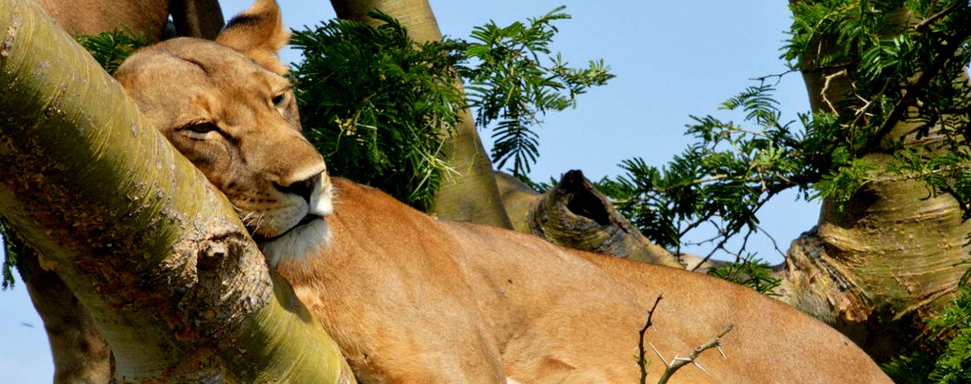 3 Days Tree Climbing Lion Queen Safari