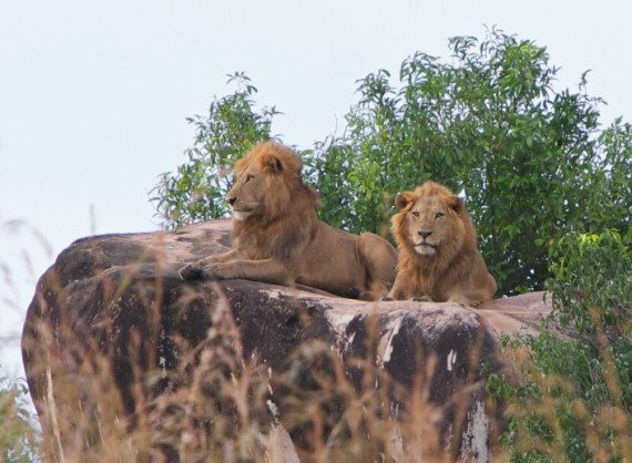 lions-in-kidepo-valley-national-park
